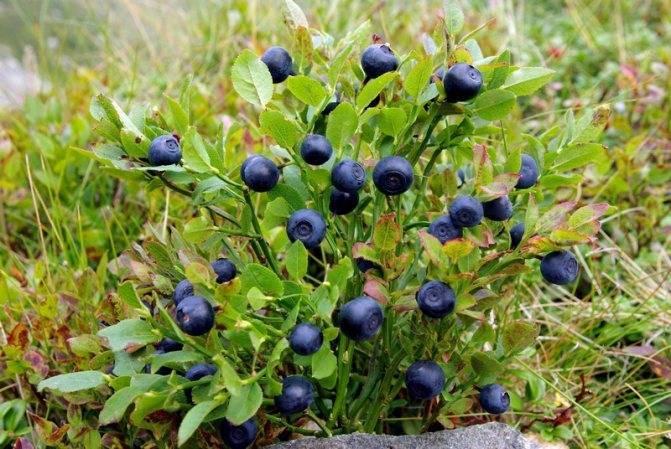 Листья черники: лечебные свойства и противопоказания