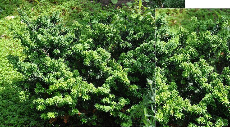 Пихта корейская (47 фото): описание пихты с синими шишками, посадка и уход, виды и сорта, выращивание. как быстро растет?