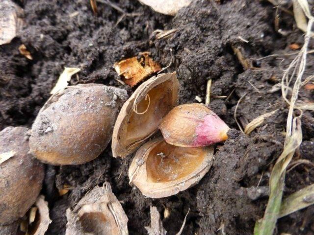 Буррито – супер метод размножения роз