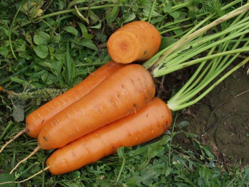 Морковь балтимор отзывы