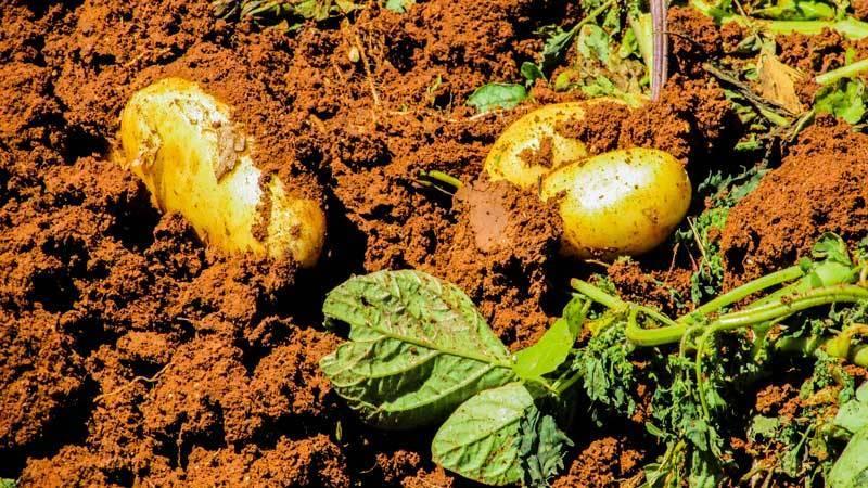 Заслуживший почет и уважение у сибиряков — картофель дамарис: описание сорта и отзывы