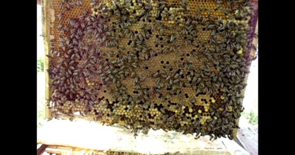 Когда лучше делать отводки пчел?