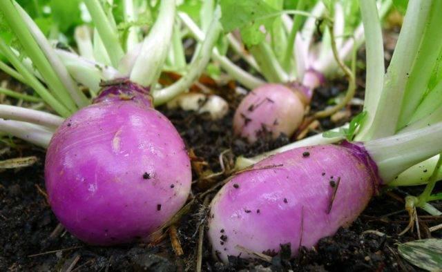 «шведская репа» на русском огороде: выращивание брюквы и уход за овощной культурой