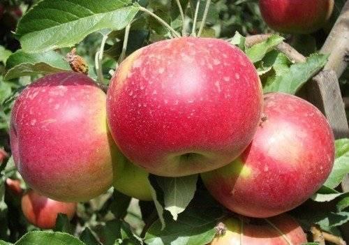 Описание и разновидности яблок голден делишес, выращивание и правила ухода