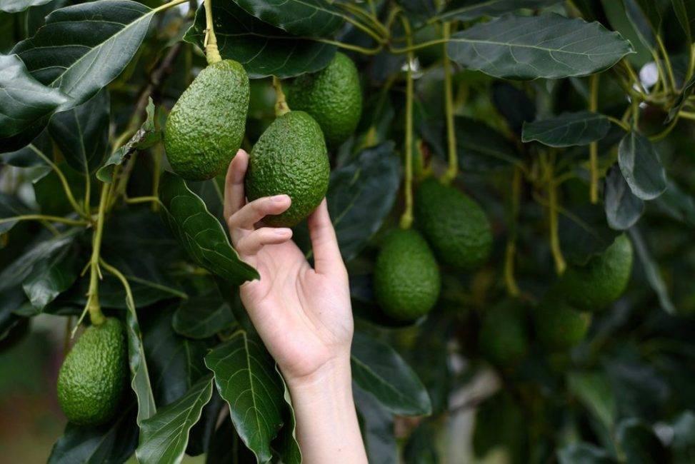 Черный авокадо (хасс): описание сорта, уход в домашних условиях, фото