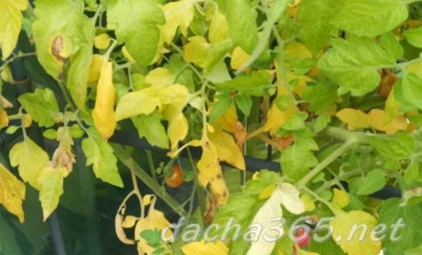 Почему у помидоров желтеют листья и как им помочь