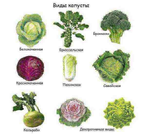 Самые урожайные сорта ранней капусты