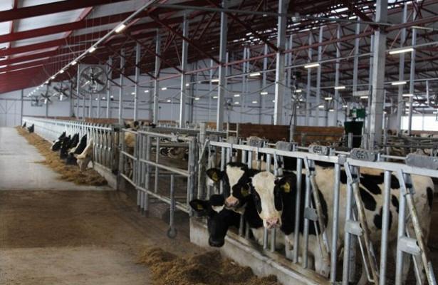 Туберкулёз у коров