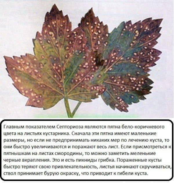 Болезни красной и черной смородины: красные пятна на листьях