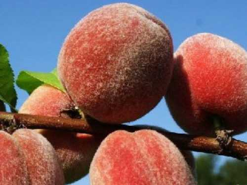 Сорта персиков - 135 фото лучших сортов. видео инструкция обрезки, ухода и выращивания
