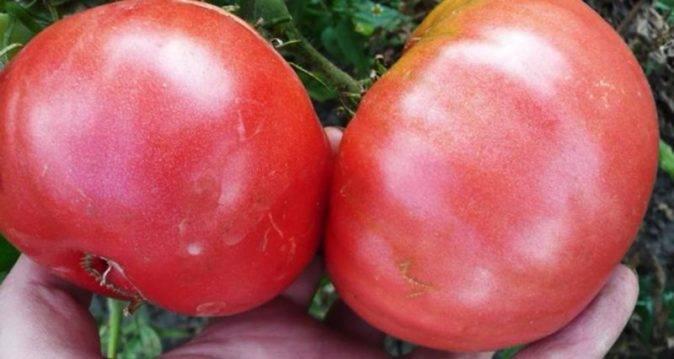 Сорт томата «желтый гигант»: описание, характеристика, посев на рассаду, подкормка, урожайность, фото, видео и самые распространенные болезни томатов
