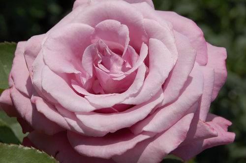 Роза английская абрахам дарби (abraham darby) - описание , фото, агротехника, преимущества и недостатки   о розе