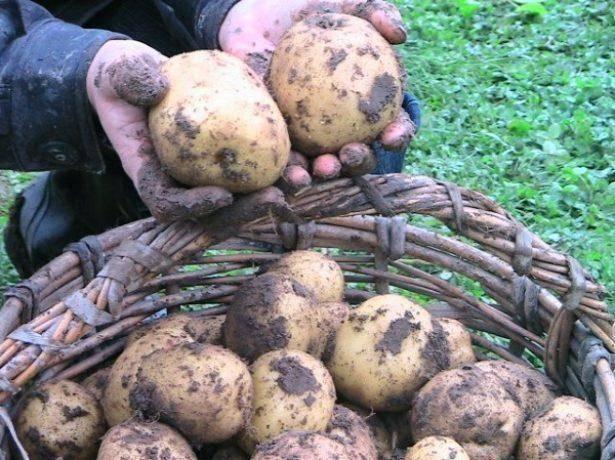 Характеристика сорта картофеля лабелла
