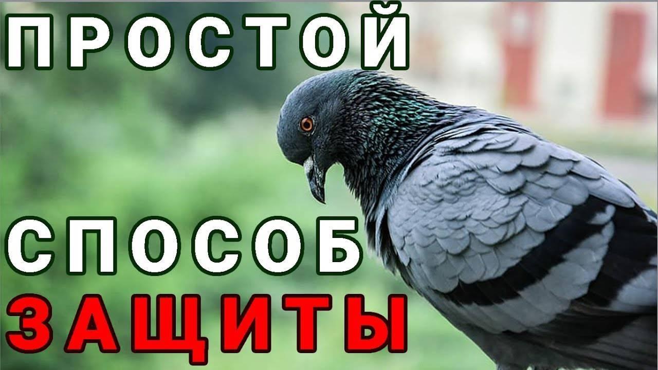 Избавляемся от голубей самыми эффективными методами