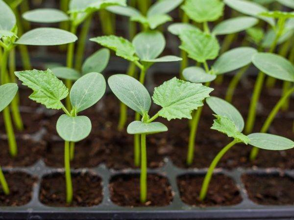 Посадка огурцов на рассаду. подбираем горшочки для рассады  | цветоводство - садоводство