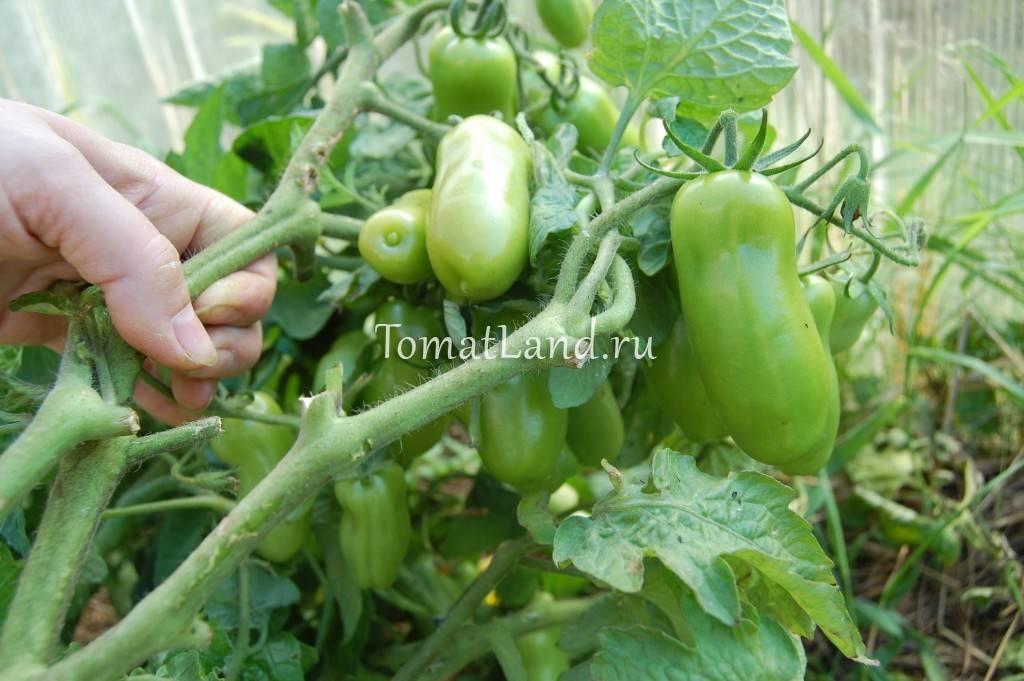 Выносливый сорт из германии — томат 646: описание помидоров и особенности их выращивания