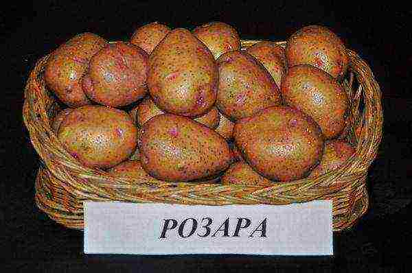 Картофель розалия — описание сорта, фото, отзывы, посадка и уход