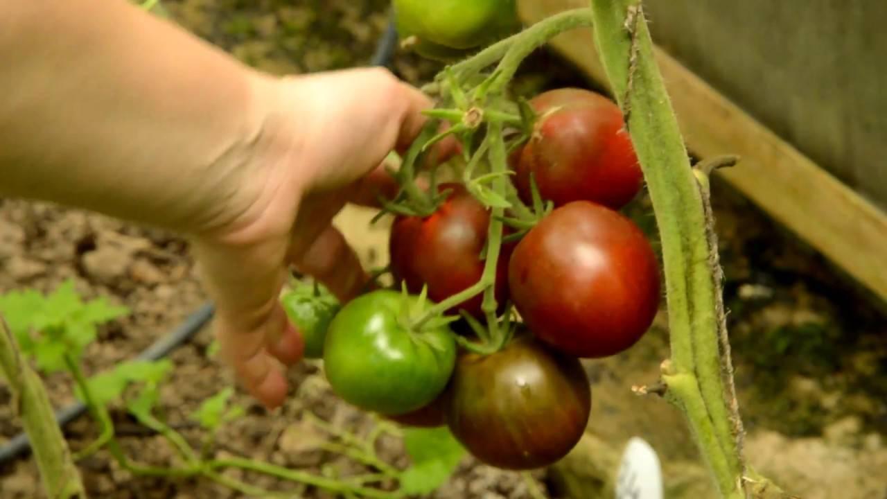 «розовое чудо» — самый ранний и вкусный томат