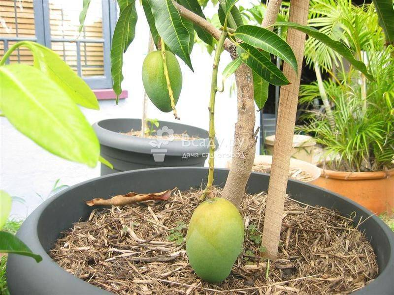 Почему на листьях авокадо коричневые пятна. авокадо сохнет, чернеет. почему? как лечить? почему чернеет авокадо