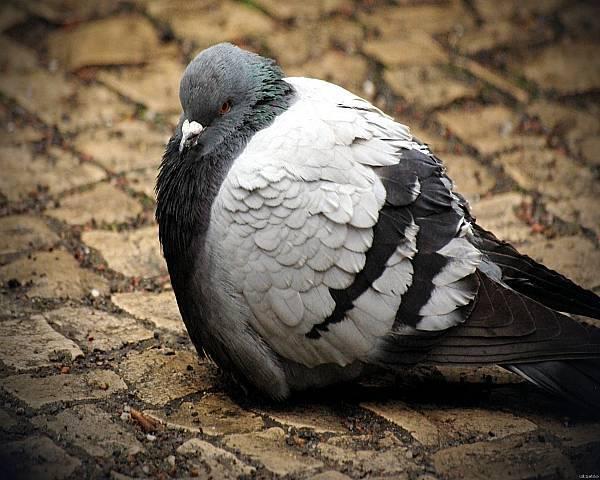 О венценосном голубе – фото, описание и уход