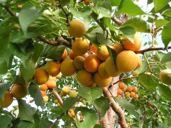 Описание и характеристика абрикоса сорта лель, правила посадки и особенности ухода