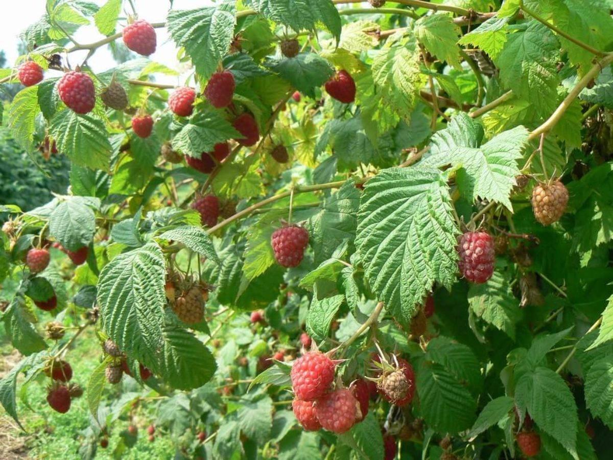 Сорт малины похвалинка: крупные и вкусные плоды без химикатов