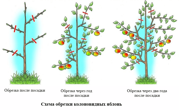 Как правильно обрезать колонновидную яблоню
