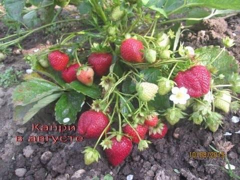Урожайные сорта клубники