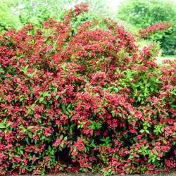 Посадка, выращивание и уход за вейгелой в открытом грунте