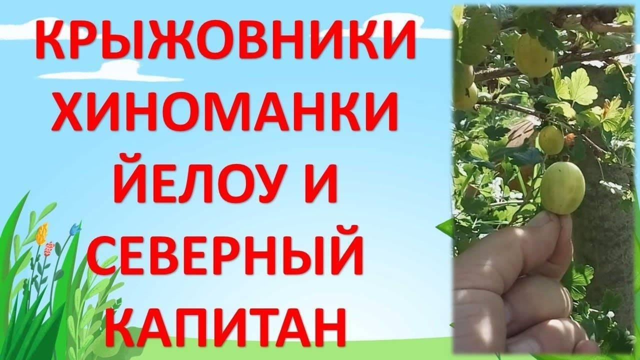 Крыжовник северный капитан: описание сорта, выращивание