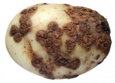 Почему картошка чернеет после варки? - блогфермера