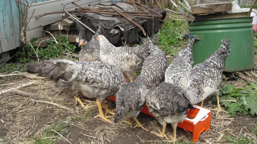 Описание кур породы борковская барвистая (16 фото): как выглядит несушка? особенности выращивания цыплят, отзывы владельцев