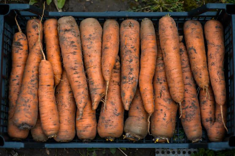 Секреты того, как правильно сохранить морковь на зиму в домашних условиях: лучшие способы