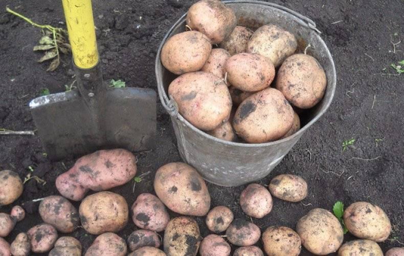 Сорт картофеля «жуковский ранний»: характеристика, описание, урожайность, хранение, отзывы и фото