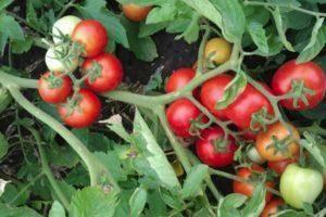 Томат ирина f1 — описание сорта, фото, урожайность и отзывы садоводов