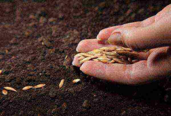 Особенности проращивания огуречных семян