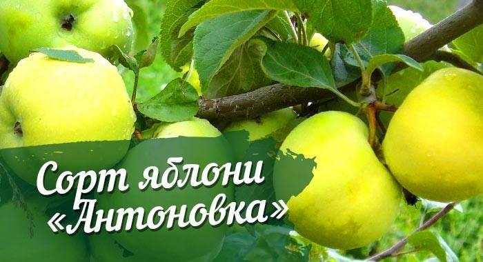 Яблоня антоновка: описание сорта, выращивание и уход.