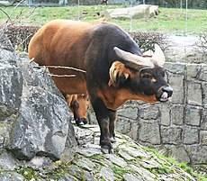 Корова объелась дробленки, комбикорма и переела (обдулась) зерна: вздутие рубка и остановка желудка — что делать, если у теленка пропала жвачка — moloko-chr.ru
