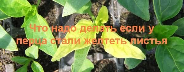 Почему у перца желтеют и опадают листья, что делать