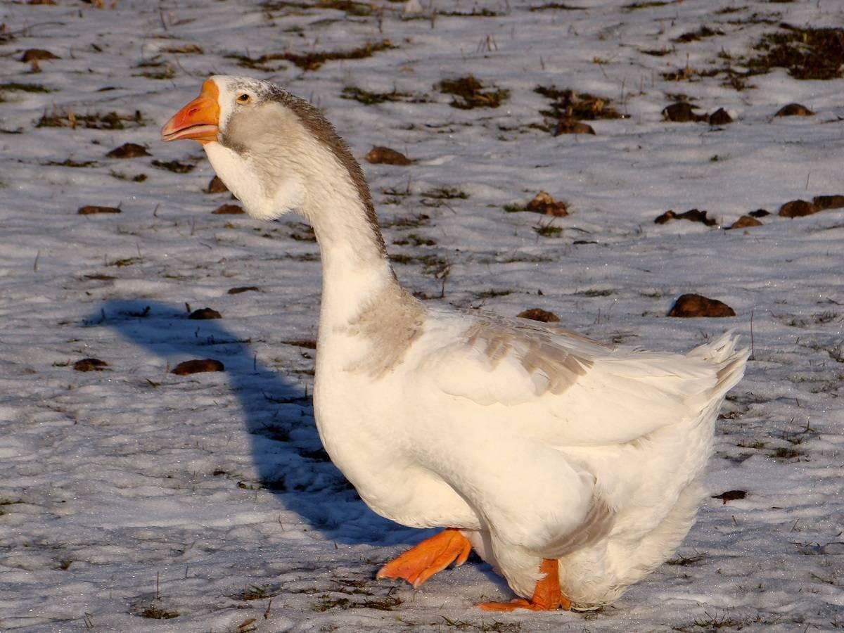 Как разводятся холмогорские гуси: описание породы и характеристика