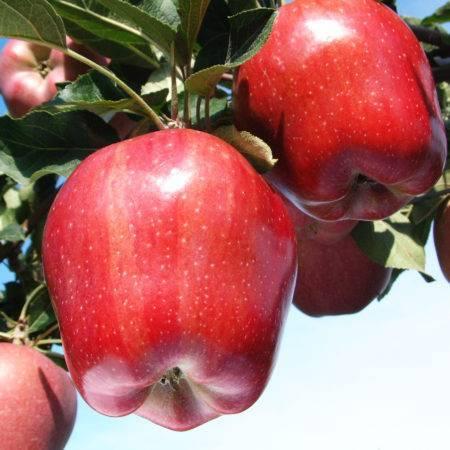 Яблоня ред делишес: описание сорта, фото, отзывы, морозостойкость