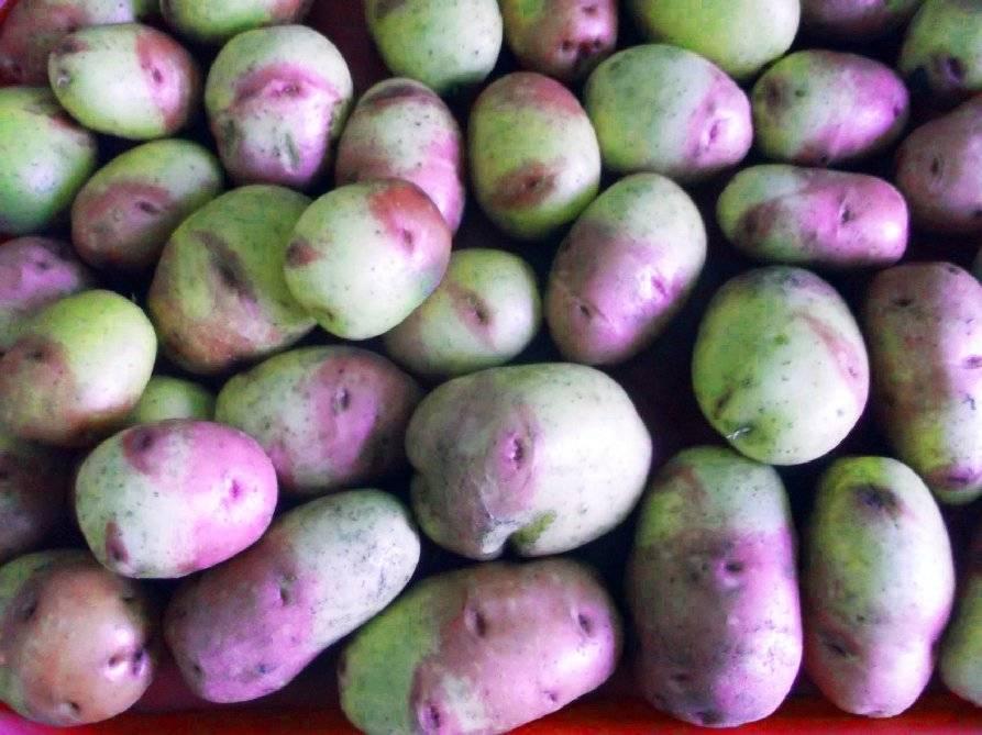 Картофель иван да марья — описание сорта, фото, отзывы, посадка и уход