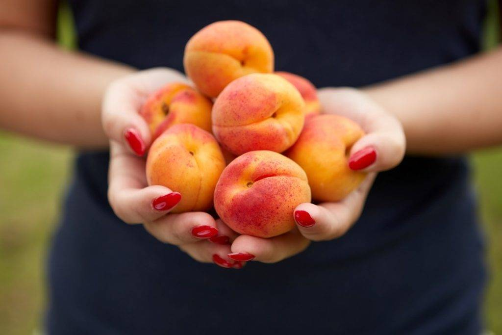 Обзор сортов абрикоса для средней полосы россии