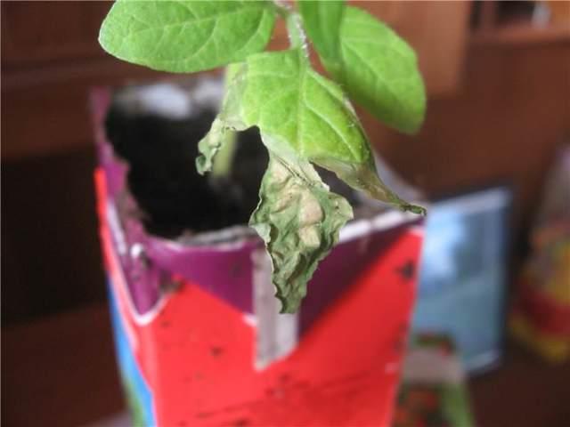 Почему у рассады томатов опадают листья