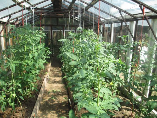 Мясистый и очень вкусный томат «мишка косолапый»: отзывы и агротехнические приемы для повышения урожая