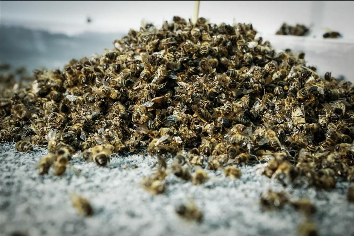 Настойка из мертвых пчел на спирту рецепт и применение