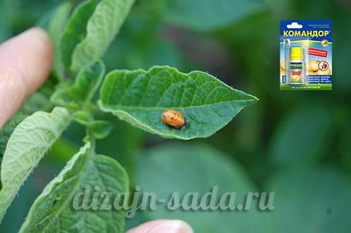 Инструкция по применению средства от колорадского жука командор