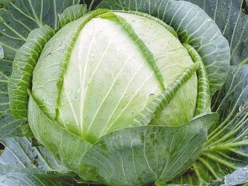 Выращивание капусты сорта колобок: подробное описание
