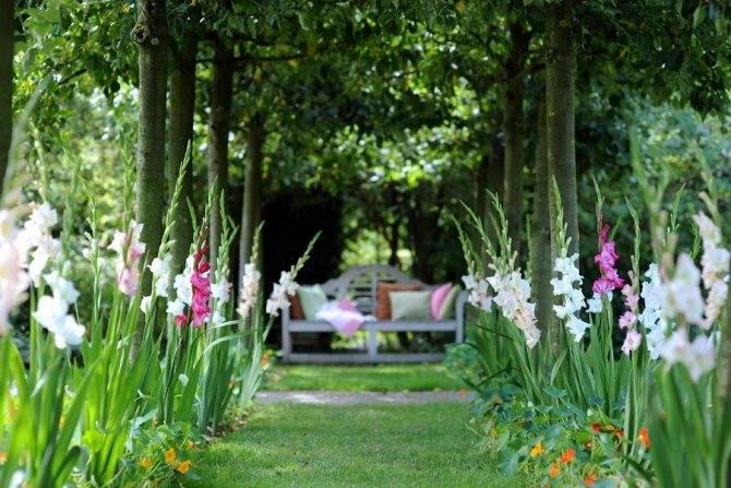 Гладиолусы в ландшафтном дизайне с другими цветками и их правильная посадка