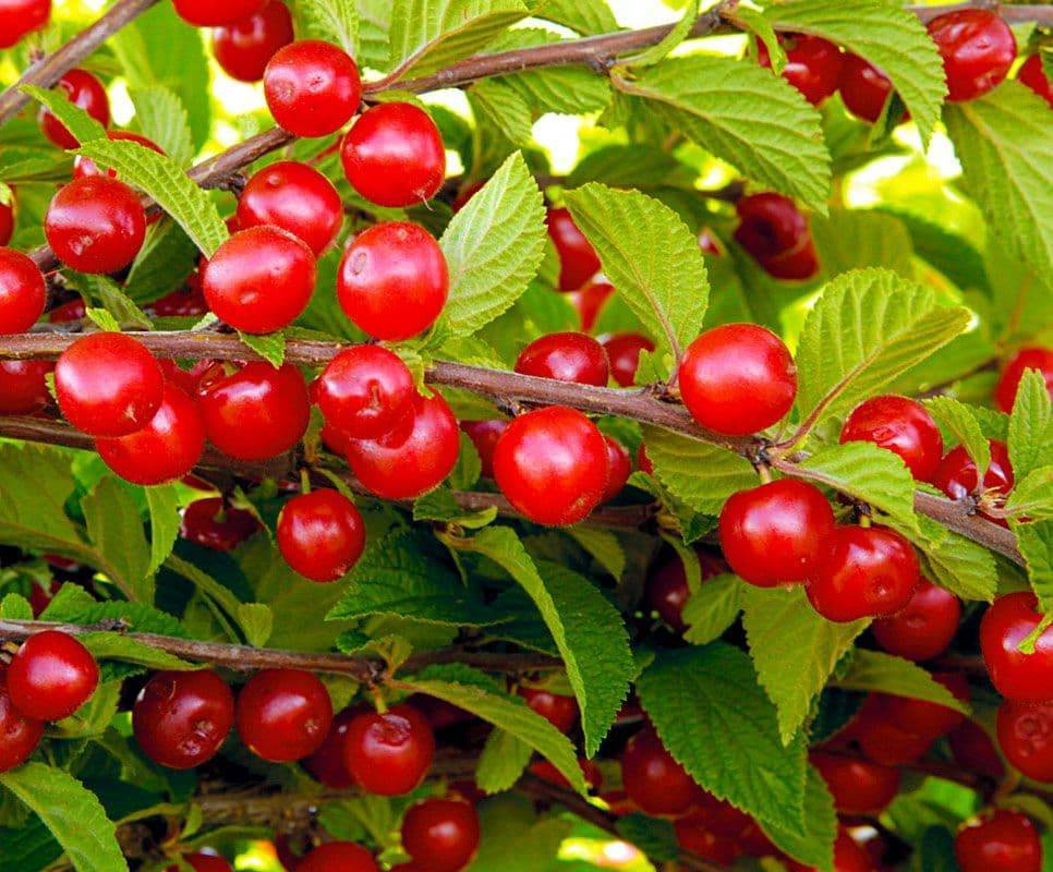 Описание и характеристика самоплодных сортов вишни